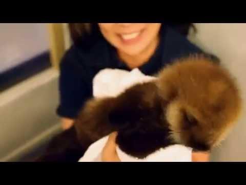 保護ラッコの赤ちゃん、水族館で育つ