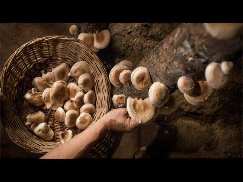 Clique e veja o vídeo Curso Cogumelo Shiitake - Colheita