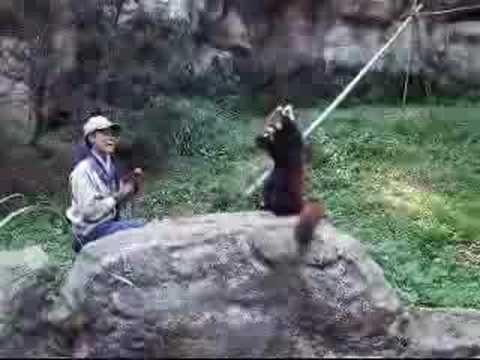 多摩ZOOレッサーパンダ