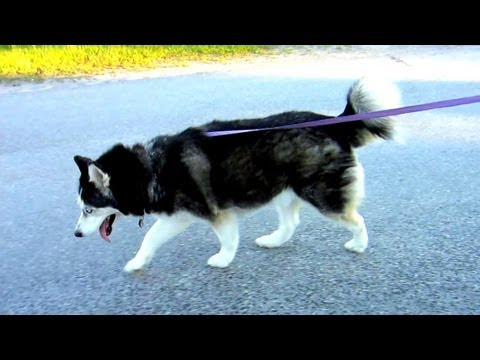 How to Walk 3 Siberian Huskies with ROLLER BLADES!