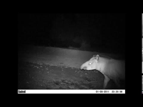 Tapir en Finca Los Tapires y Los Pecaries 2013