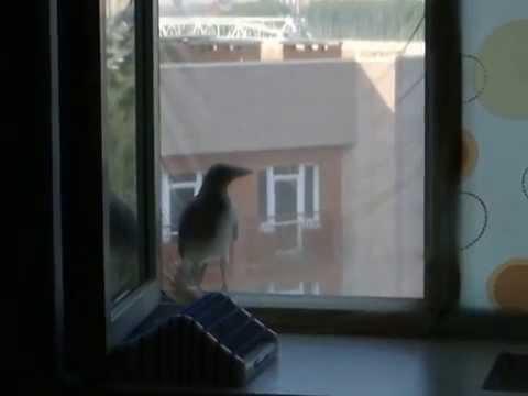 Ворона прорывается на завтрак)
