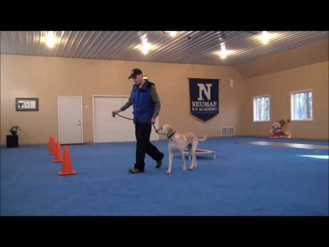 Higgins (Labrador Retriever) Boot Camp Dog Training Video