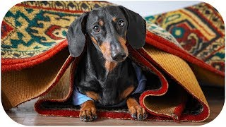 When in Rome, do as the Romans do! Funny dachshund dog video!
