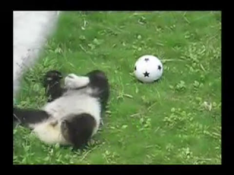 OMG it's so cute! - baby panda playing soccer (aka football)