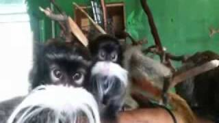 Funny Monkey Song: Mustache Monkeys by Bryant Oden
