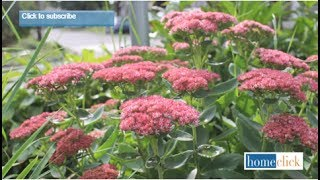 Sedum Autumn Joy - Growing Tips