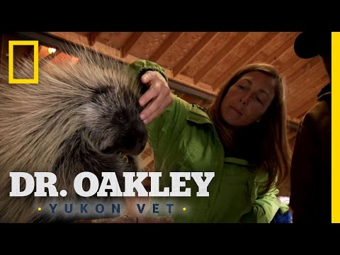 Carefully Poke the Porcupine | Dr. Oakley, Yukon Vet