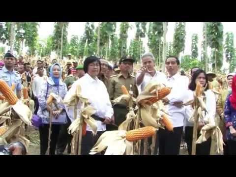 Panen Raya Jagung Di Tegakan Hutan Jati,  Blora JATENG 7 3 15