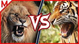 Lion Vs Tiger   ANIMAL BATTLE