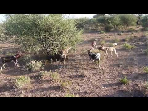 Wild Dogs Fight Hyena For Food video