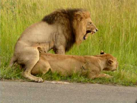 Mating Lions in Kruger national park