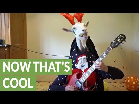 クリスマスの「ジングルベル」をヤギと二人羽織エレキギターで弾く!?