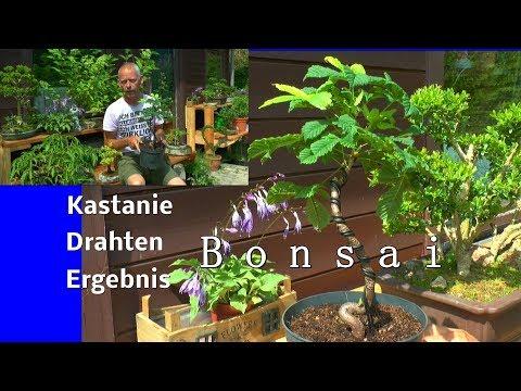 Kastanie Bonsai das Drahten nach einem Monat entdrahten und Schneiden einer Schnittstelle am Bonsai