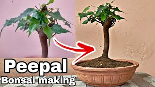 Peepal bonsai in 4 Minutes, How to Make peepal bonsai fast and easy, Ficus religiosa Bonsai