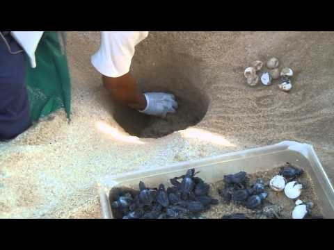 Saving the baby sea turtle hatchlings - Beach of Los Cabos, Mexico - November 2011
