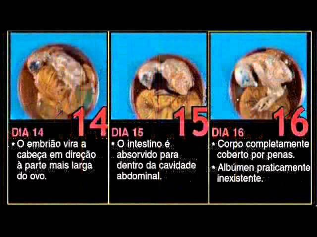 Ovoscopia - Imagens do interior de um ovo