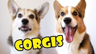 CORGIS  - Comparing Personality in Dog Breed || Extra After College