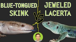 Jeweled Lacerta vs Blue-Tongued Skink - Head To Head