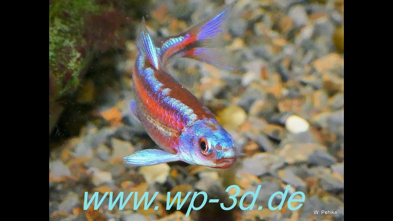 Regenbogenelritze notropis chrosomus parasiten fressender for Elritzen im gartenteich