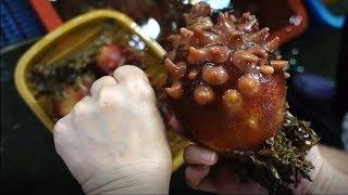 거대한 자연산 멍게 Sea squirt,  マホヤ[맛있겠다] It looks delicious