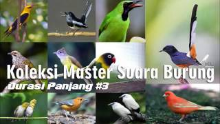 Download Lagu Koleksi Masteran Suara Kicau Burung Lengkap Durasi Panjang #3 Gratis STAFABAND