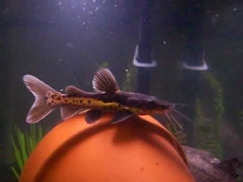 Tilapia bottom feeder videos for Is tilapia a bottom feeder fish