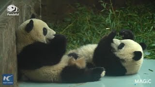 Cute footage of pandas licking their paws