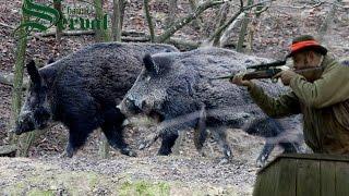 Wild Boar Hunting in Croatia ,part2 - Kroatische Keiler 2 - Drückjagd