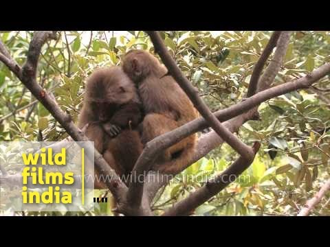 Monkey couple sit high up in a tree and hug each other