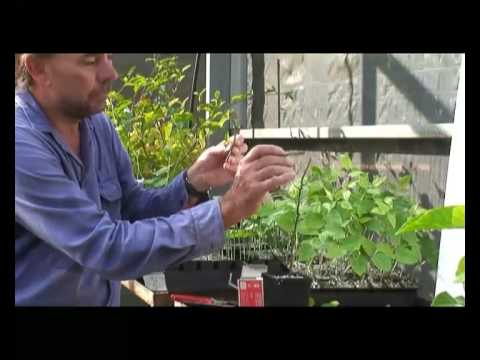 Grafting Passionfruit in the Northern Territory