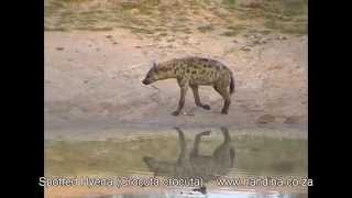 Spotted Hyena on Safari in Kruger Park