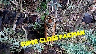 Tiger Sighting Ranthambore | T85 aka Pacman