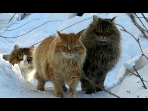 Злые русские кошки.
