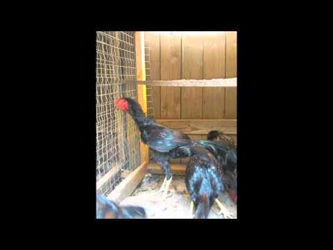 gallos de 1/4 a redonda austin texas