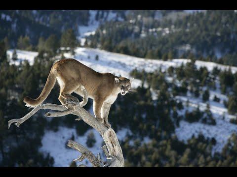 Tiro con Arco a un Leon de Montaña en Idaho