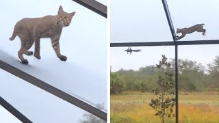 Bobcat Chasing Squirrel on Roof!