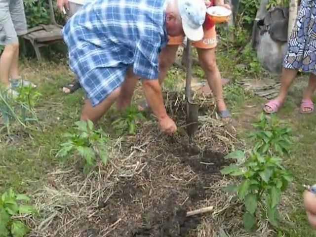 Органическое земледелие как сажать картофель 90