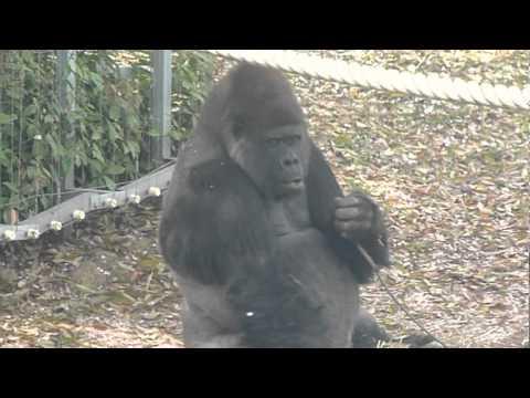 王子動物園のゴリラのヤマト君