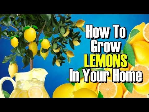 HOW TO GROW A LEMON TREE FROM SEED! WORKS EVERY TIME !