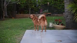 Cute dog free footage