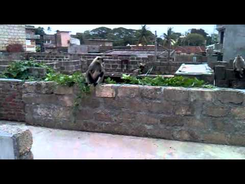 Ek Bandar Ghar Ke Andar video