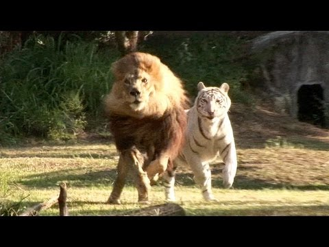 Lion & Tiger PLAYTIME!