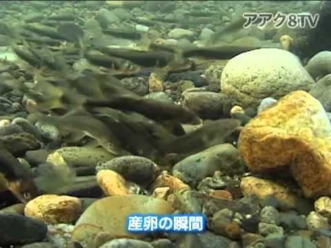 アアク8TV水中映像×Goovie 岐阜県の魚類07 アユの産卵