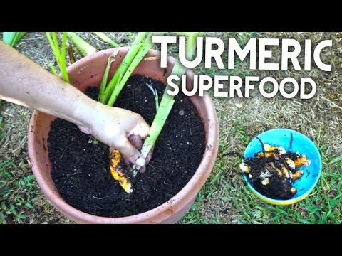 Growing Superfood Turmeric - Anti-inflammatory, Antioxidant, Healthy!