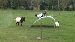 Chèvres en équilibre