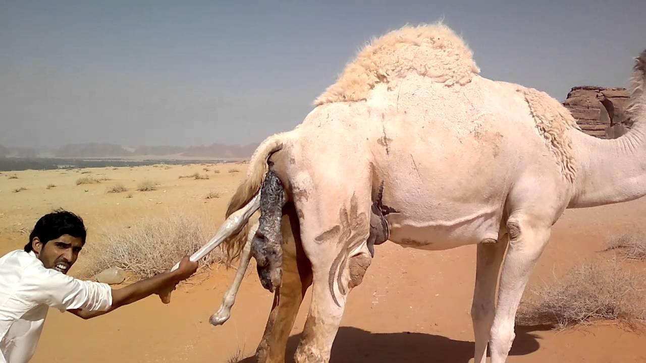 Секс девушки с верблюдом видео