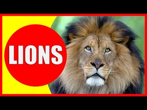LION Information for Kids - Facts About Lions for Children, Lions Roar and Lion Sounds | Kiddopedia