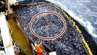Kéo mẻ lưới 60 tấn cá hồi  - đắt đỏ - hàng trăm nghìn đô