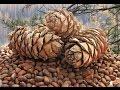 Добыча кедрового ореха - Трудный хлеб тайги.